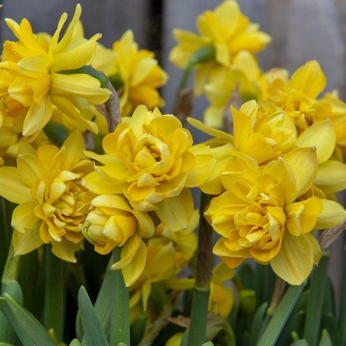 Bloembollen Narcis Tete Boucle