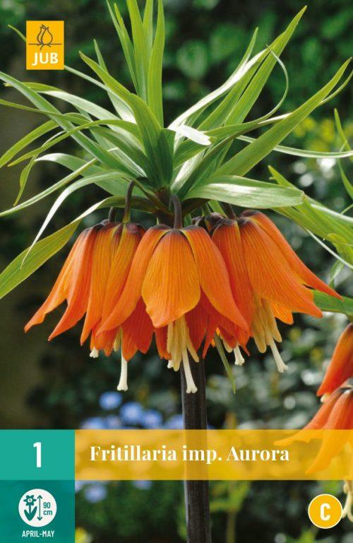 Fritillaria Imperialis Aurora 1st.