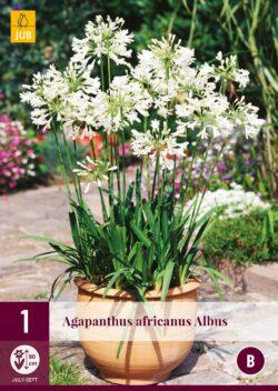 Agapanthus Africanus Albus