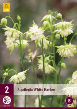 Aquilegia White Barlow