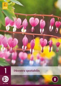Dicentra Spectabilis