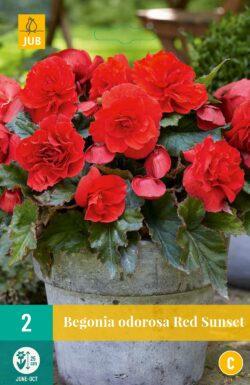 Begonia Cascade Odorosa Red Sunset