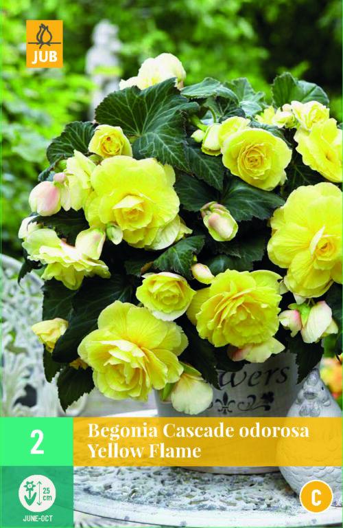 Begonia Cascade Odorosa Yellow Flame