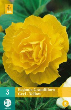Begonia Grandiflora Geel