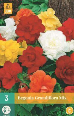 Begonia Grandiflora Mix