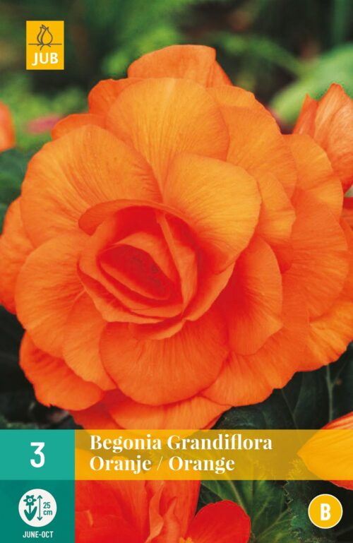 Begonia Grandiflora Oranje