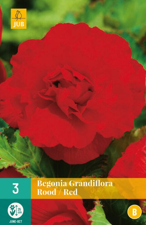 Begonia Grandiflora Rood