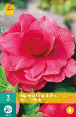 Begonia Grandiflora Roze