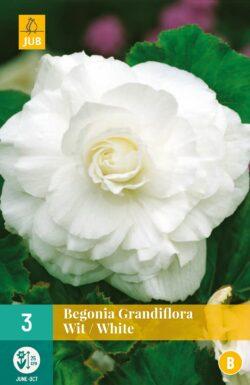 Begonia Grandiflora Wit