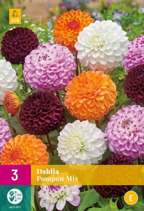 Dahlia Pompon Mix