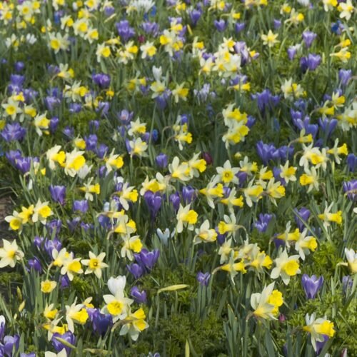 Narcissus Topolino 5st.