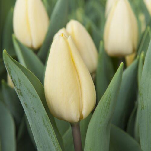 Tulpen Crème Fraîche 7st.