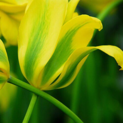 Tulpen Formosa 7st.