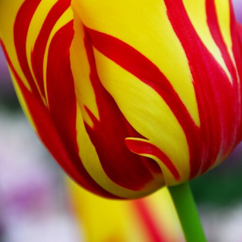 Tulpen Helmar 10st.