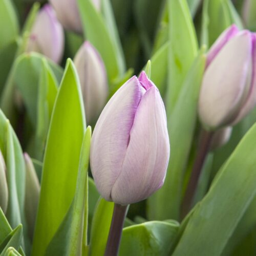Tulpen Jacuzzi 10st.