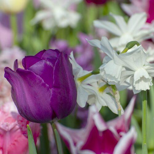 Tulpen Negrita 10st.