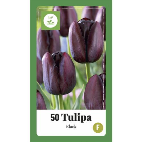 Tulpen Black 50st.