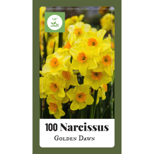 Narcissus Golden Dawn 100st.