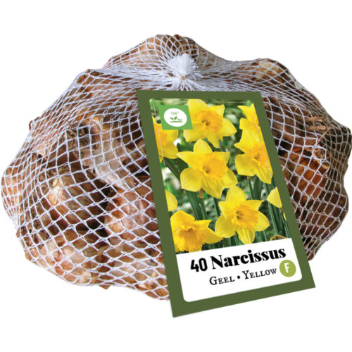 Narcissus Geel 40st.