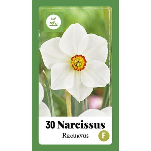 Narcissus Recurvus 30st.