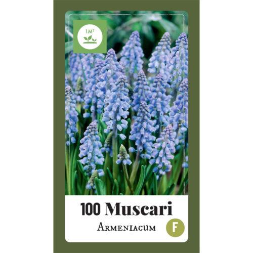 Muscari Armeniacum 100st.