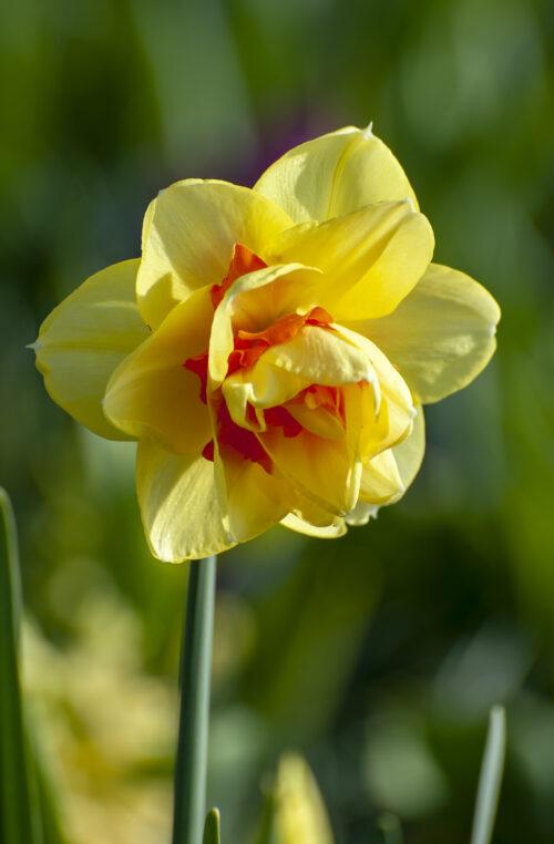 Bio Narcissus Tahiti 5st.
