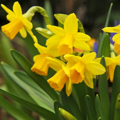 Bio Narcissus Tête-á-Tête 5st.