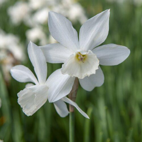 Bio Narcissus Triandrus Thalia 5st.