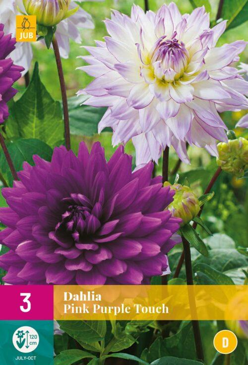 Dahlia Pink Purple Touch