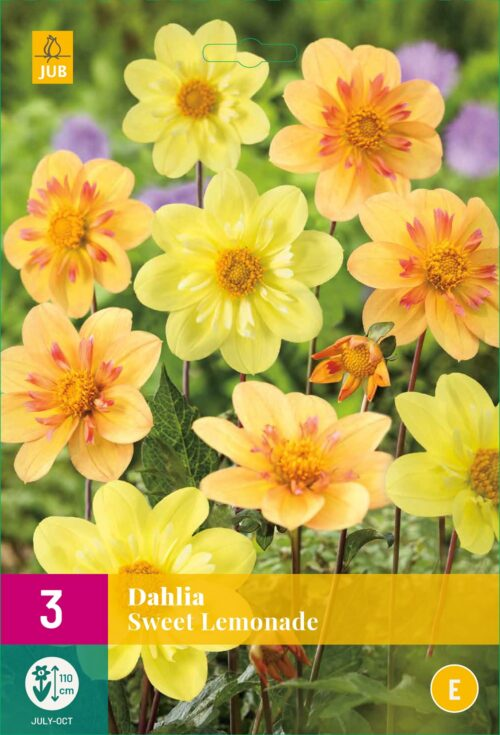 Dahlia Sweet Lemonade