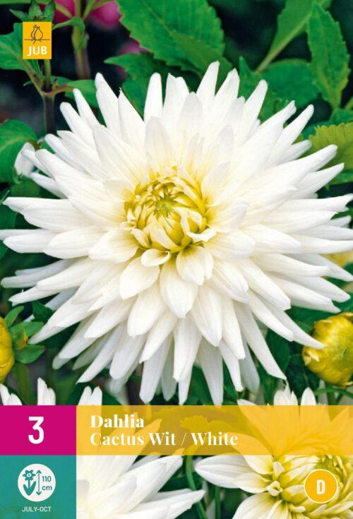 Dahlia Cactus Wit
