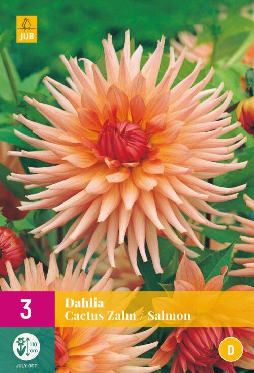 Dahlia Cactus Zalm