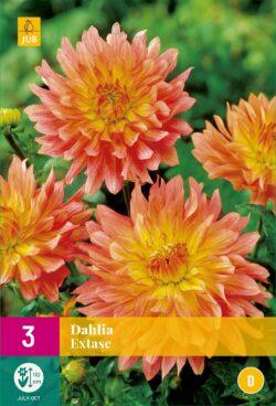 Dahlia Extase