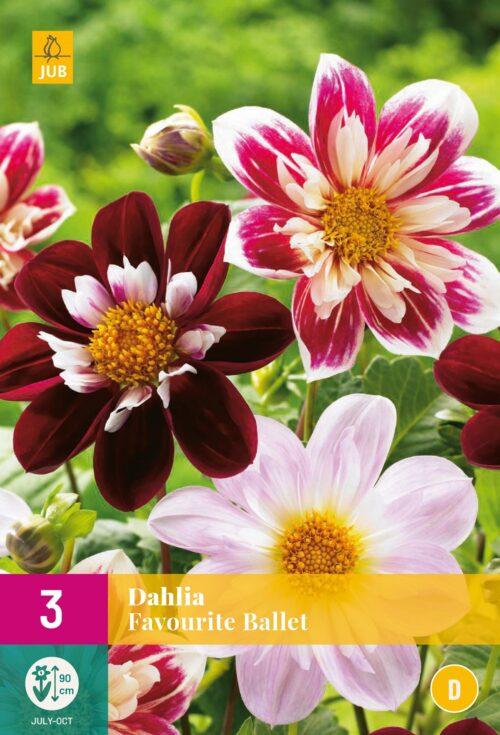 Dahlia Favourite Ballet