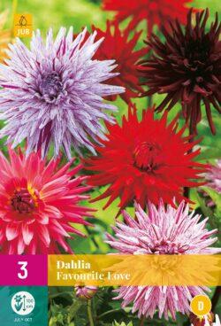 Dahlia Favourite Love