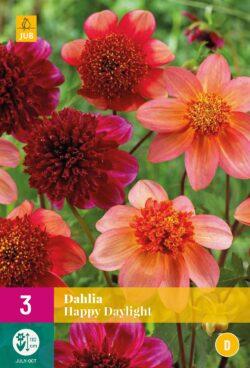 Dahlia Happy Daylight