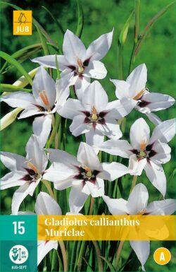 Gladiolus Callianthus Murielae