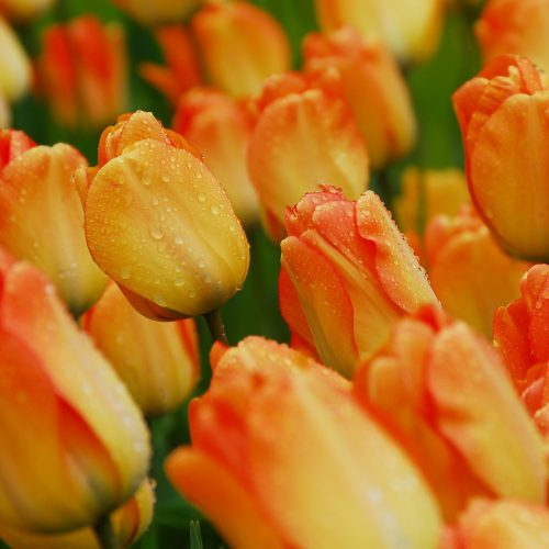 Bloembollen Tulpen Daydream