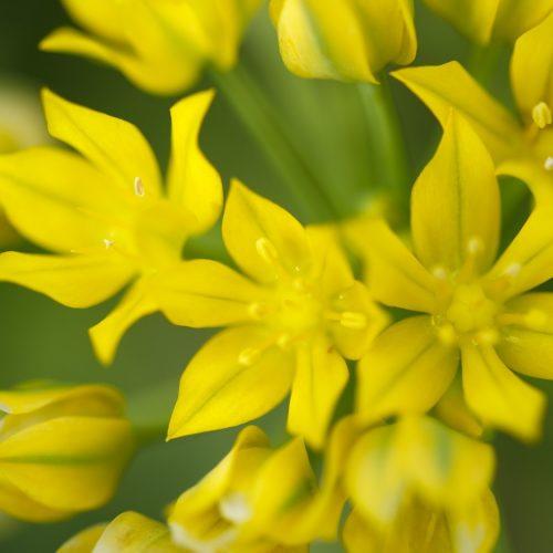 Allium Species Mix