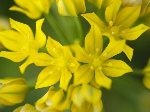 Allium Specie Mix