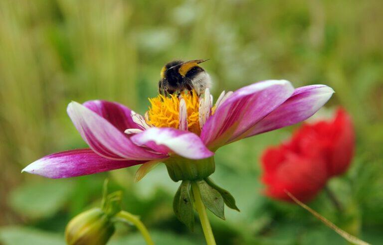 Biologische bloembollen dahlia's