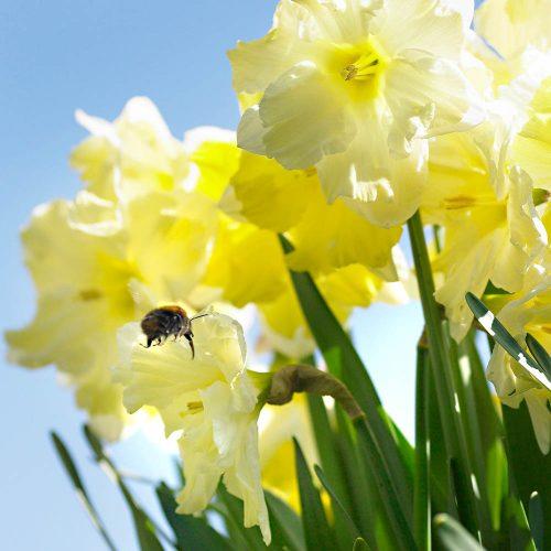 Bloembollen Narcis Cassata