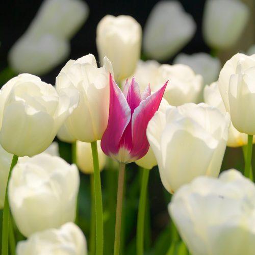 Bloembollen Tulpen Claudia