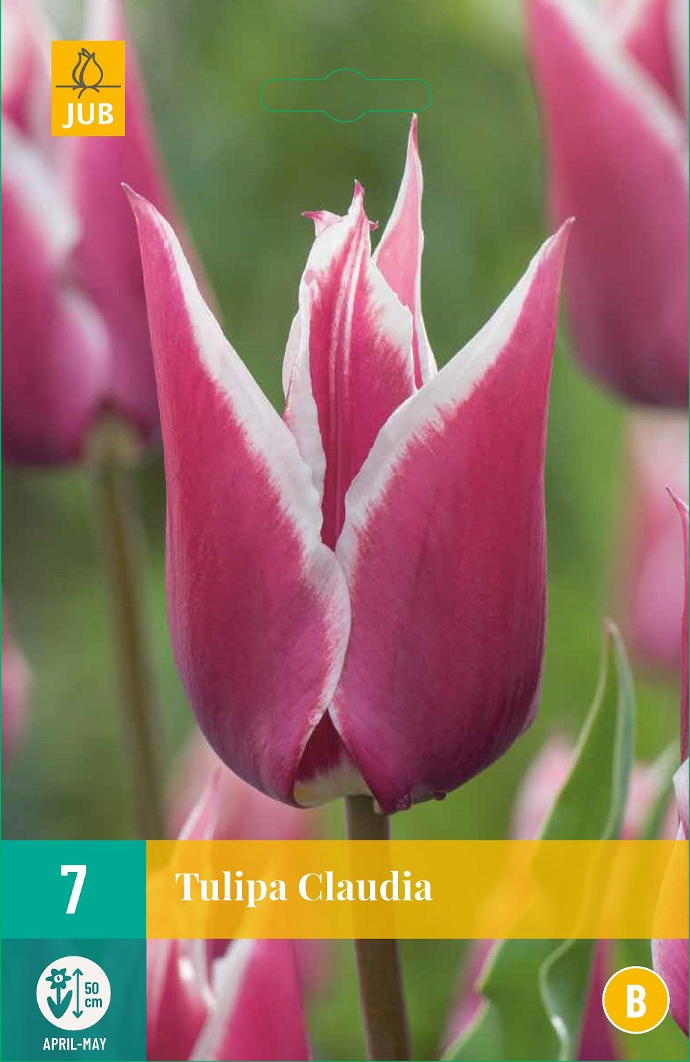 Tulpen Claudia