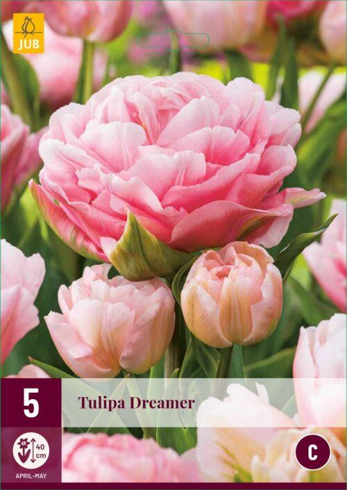 Tulpen Dreamer