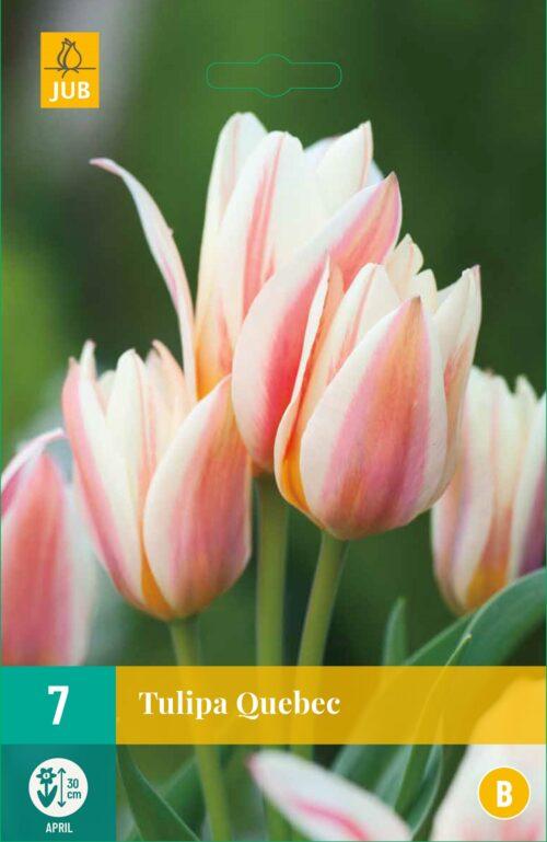 Tulpen Quebec