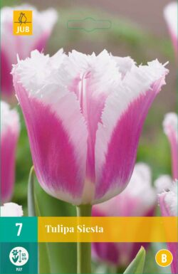 Tulpen Siesta
