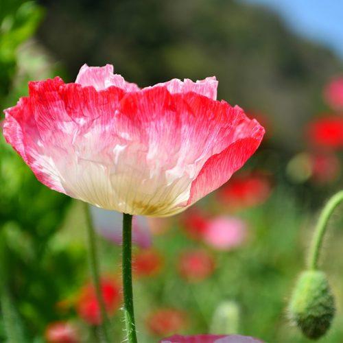 Poppy shirley