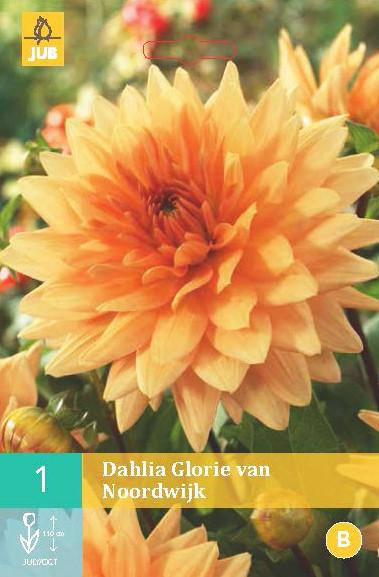 Dahlia Glorie Van Noordwijk 1st.