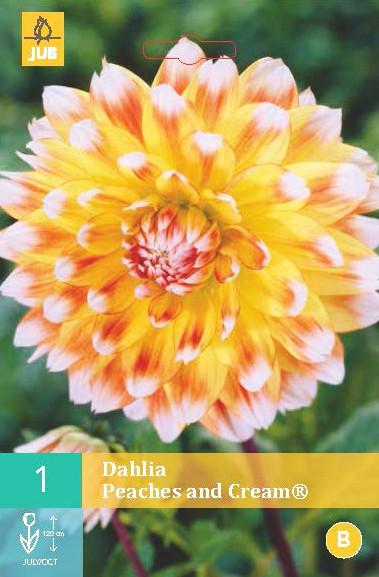 Dahlia Peaches And Cream 1st.